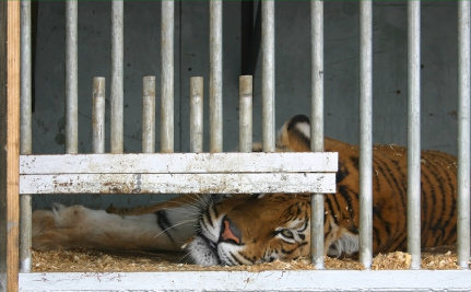 Chinese Tiger Farms Kill Captive Cats to Sell Parts