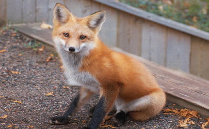 After a Fox Attacks Baby, Should We Kill All Foxes?