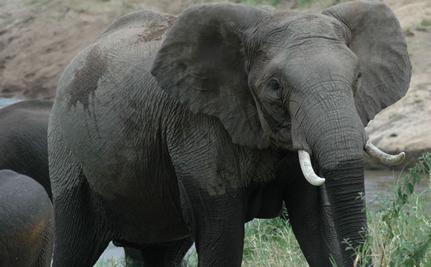 Will African Elephants Be Extinct In Ten Years?