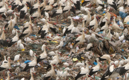 Storks Stop Migrating in Order to Live on Junk Food