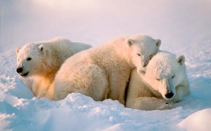 Polar Bears Win After Alaska Tries to Delist Them