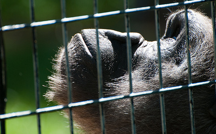 Who's Stealing the World's Great Apes?