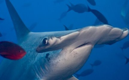 A New and Toothy Form of Ecotourism: Swimming With Sharks