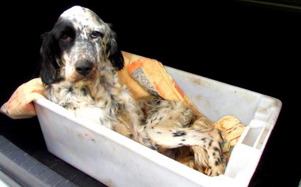 English Setter Weighs Less than a 2-Year-Old