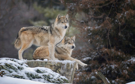 Both Wolves and Livestock are Safer in Oregon