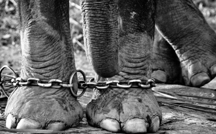 15 Days Left to Save Nosey the Abused Elephant