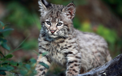 Trapping Bobcats For Profit Could Become Illegal In California