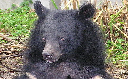 Bears Tied Up and Attacked by Dogs in Pakistan