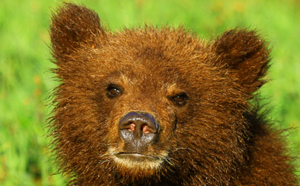 The Grizzly Bear: A Slowly Disappearing Symbol of the Canadian Wilderness