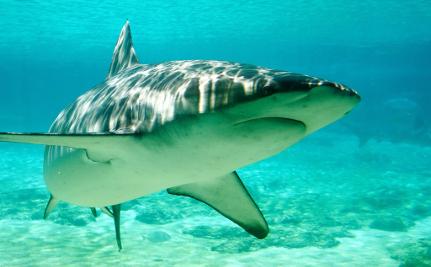Shark Flown Across the Country Dies for Kmart Commercial