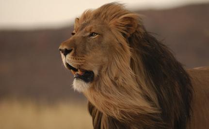 Killing Lions to Protect Them? Does it Make Sense?