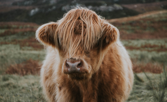 10 Famous Cows to Inspire You