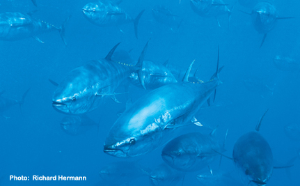 The Bottom Line: Fishermen and Environmentalists Unite for Tuna