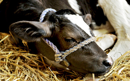 Veal Calves Too Weak to Stand Will Not be Slaughtered, Announces USDA