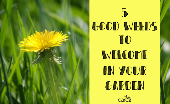 5 Good Weeds to Welcome in Your Garden