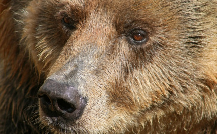 Wild Bears Addicted to Sniffing Aviation Fuel