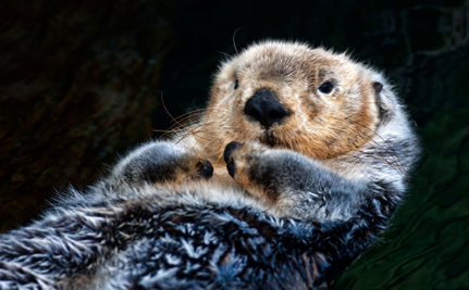 $100 Bounty for Sea Otters?