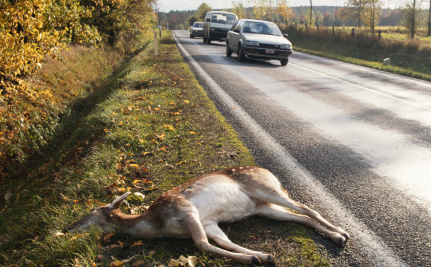 Roadkill For Dinner? Montana Wants To Make It Legal