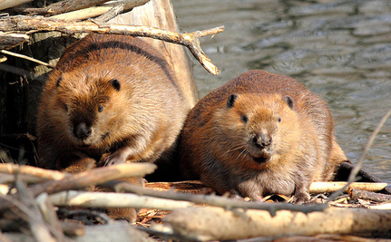 Beavers Suffer Severe Burns After Helping to Stop Oil Spill