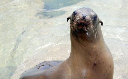 This Sea Lion Rocks Out to the Beat, and Proves Scientists Wrong