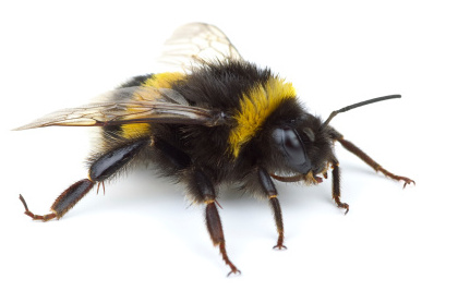 Flowers Contaminated With Metal Behind Bumblebee Decline