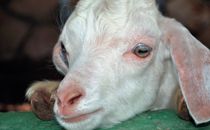 Company Abusing and Neglecting Goats While Selling Their Blood