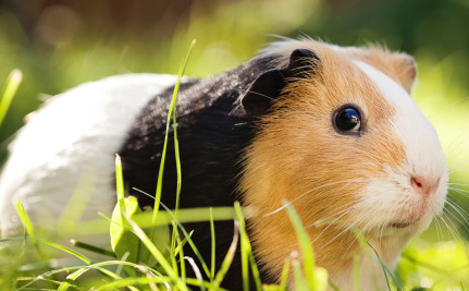 If You Want to Eat Meat, How About Guinea Pig?