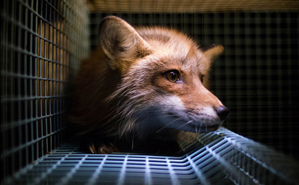 Why Are U.S. Fur Farms Escaping Scrutiny?