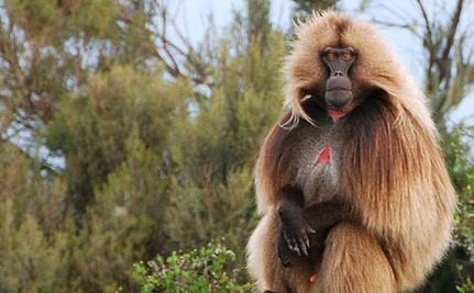 Rare Primates May Be Speaking to Each Other