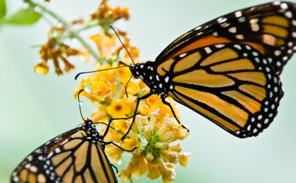 Sick Butterflies and Ants Treat Themselves with Medicine