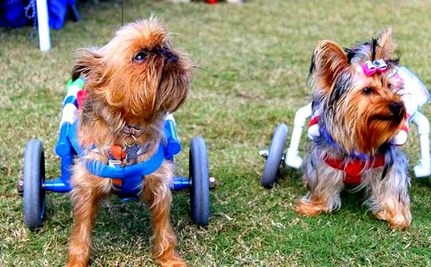 Paralyzed Dog Saved from Owner, Goes On to Help Others