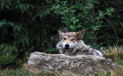 'Wildlife Specialist' Under Fire for Shooting Endangered Mexican Gray Wolf