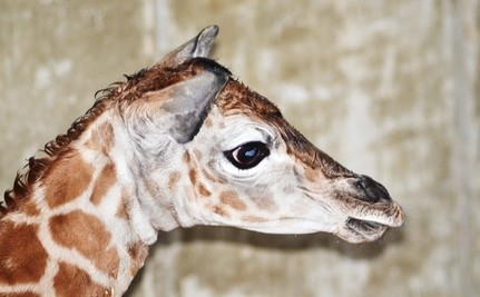 Rare Baby Giraffe Born in Connecticut Named After Newtown Victims