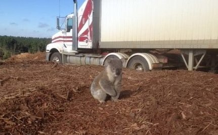 Confused Koala Discovers his Home Has Been Cut Down