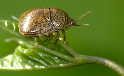 Brace Yourself for the Kudzu Bug Invasion