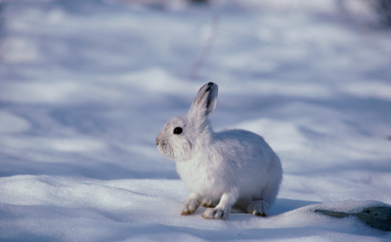 Climate Change Means Doom for Snowshoe Hares