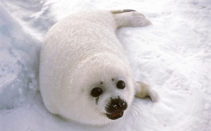 Seals Will Suffer Greatly if Ban on Seal Fur is Overturned This Week
