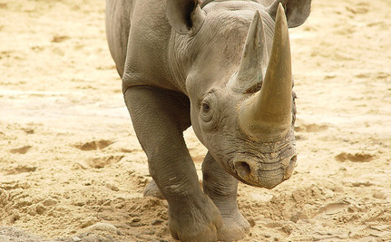 How Do You Save Endangered Rhinos? Kill Them and Display Their Horns