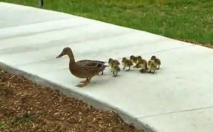 Daily Cute: Secret Service Helps Lost Ducklings Find Their Mom