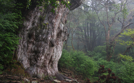 Is Beijing's Bad Air Killing Ancient Cedars in Japan?
