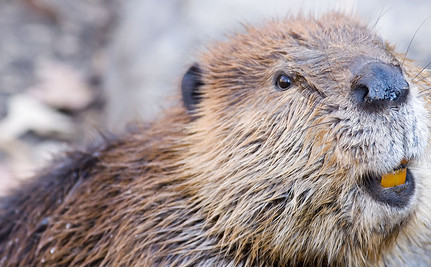 Mysterious Skinned Beavers Ignite Call for Trapping Ban