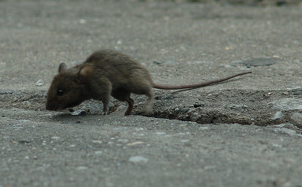 Mice in New York City are Evolving