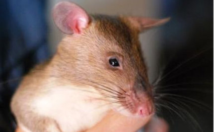 Some Rats Actually Help Detect Disease, Not Spread It