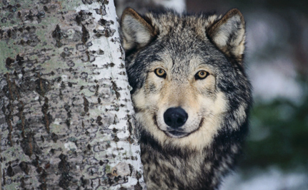 Wolves will Become Prey in Michigan If the Governor Signs This Bill