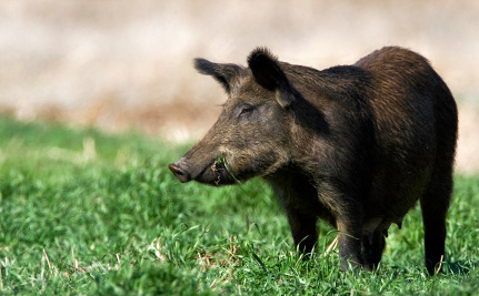 How Invasive Boars are Actually Helping Biodiversity in Brazil