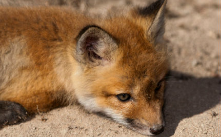 Baby Fox Rescued From Sewer May Not Make It