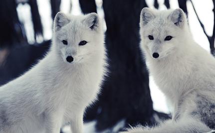 Mercury Devastates Arctic Fox Populations