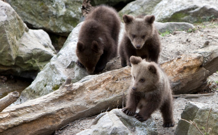 Record Number of Orphaned Bear Cubs This Year in Virginia
