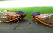10 Reasons Cicadas are Good for the Earth (and Us)
