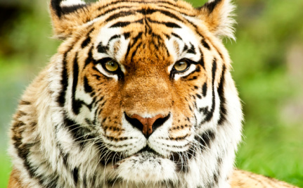 Don't Believe the Numbers: Indian Tigers Still Face Extinction Threat
